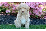 Spring - Mini Poodle Female | Puppy at 10 weeks of age for sale