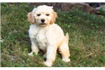 Picture of Buddy - Mini Poodle Mix Male