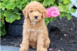 Picture of Gino - Mini Poodle Male