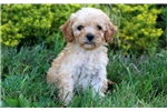 Picture of Bess - Mini Poodle Mix Female