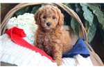 Picture of Melissa - Toy Poodle Female