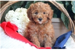 Picture of Mia - Toy Poodle Female
