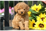 Picture of Wesley - Toy Poodle Male