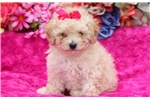 Picture of Willow - Toy Poodle Female