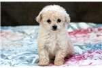Picture of Bandit - Toy Poodle Male