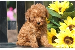 Picture of Willis - Toy Poodle Male