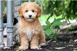 Picture of Muffin - Toy Poodle Male