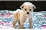 Picture of Buster - Toy Poodle Male