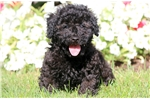 Picture of Giffy - Toy Poodle Male