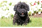 Picture of Garfield - Toy Poodle Male