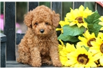 Picture of Wyatt - Toy Poodle Male