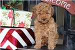 Picture of Archie - Toy Poodle Male