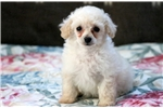 Picture of Blake - Toy Poodle Male