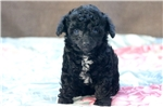 Picture of Baby - Toy Poodle Female