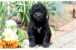 Picture of Hank - Portuguese Water Dog Male