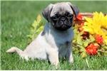 Picture of Ringo - Pug Male