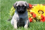Picture of Rylie - Pug Male