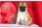 Picture of Lilly - Pug Mix Female