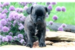 Picture of Minnie - Pug Mix Female