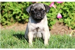 Picture of Lacey - Pug Female