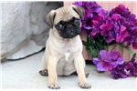 Picture of Candy - Pug Female