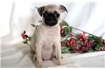 Pug for sale
