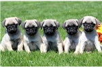 Picture of Rover - Pug Male