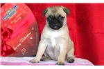 Picture of Lucy - Pug Mix Female