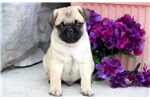 Picture of Cheerio - Pug Male