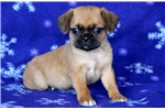 Picture of Hogan - Puggle Male