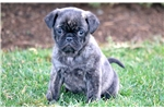 Picture of Tabby - Puggle Female