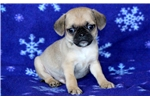 Picture of Hunter - Puggle Male