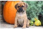 Paige - Puggle Female | Puppy at 8 weeks of age for sale