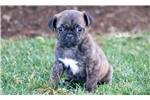 Picture of Timbo - Puggle Male