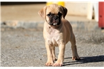 Picture of Charity - Puggle Female