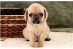 Picture of Sky - Puggle Female