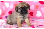 Hope - Puggle Female | Puppy at 9 weeks of age for sale