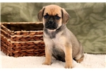 Picture of Sweetie - Puggle Female