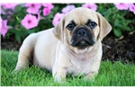 Picture of Cylo - Puggle Male