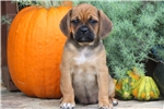 Priscilla - Puggle Female | Puppy at 8 weeks of age for sale