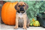 Pal - Puggle Male | Puppy at 8 weeks of age for sale