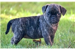 Picture of Chloe - Puggle Female