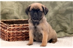 Sparkle - Puggle Female | Puppy at 11 weeks of age for sale