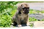 Picture of Whiskers - Puggle Male