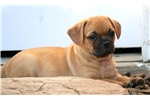 Picture of Chase - Puggle Male
