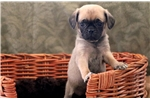 Picture of Sammy - Puggle Female