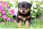 Picture of Lacy - Rottweiler Female