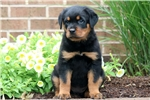 Picture of Ellie - Rottweiler Female