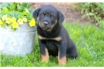 Picture of Chariot - Rottweiler Female
