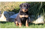 Rottweiler for sale
